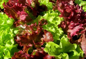 Effektive Mikroorganismen sorgen für gesundes Gemüse